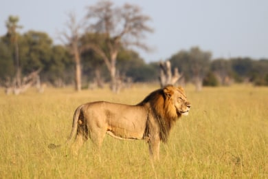 Male lion on a game drive