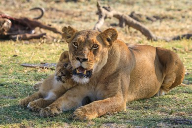 Nomvelo and her favourite cub