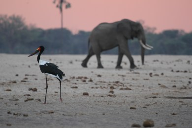 Elephant and saddlebill stork
