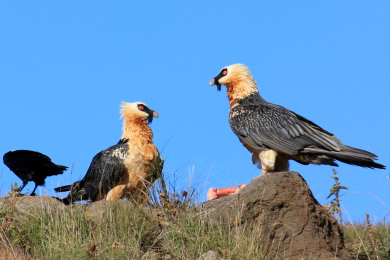 The Bearded Vulture Experience