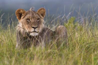 Free-roaming lion