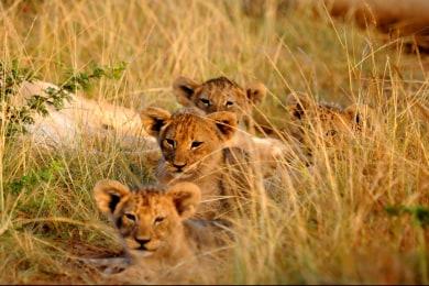 Kariega lions