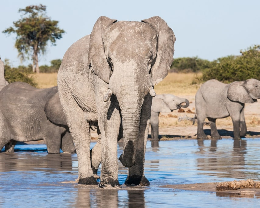 african-elephants-drinking-1957716_1920.jpg