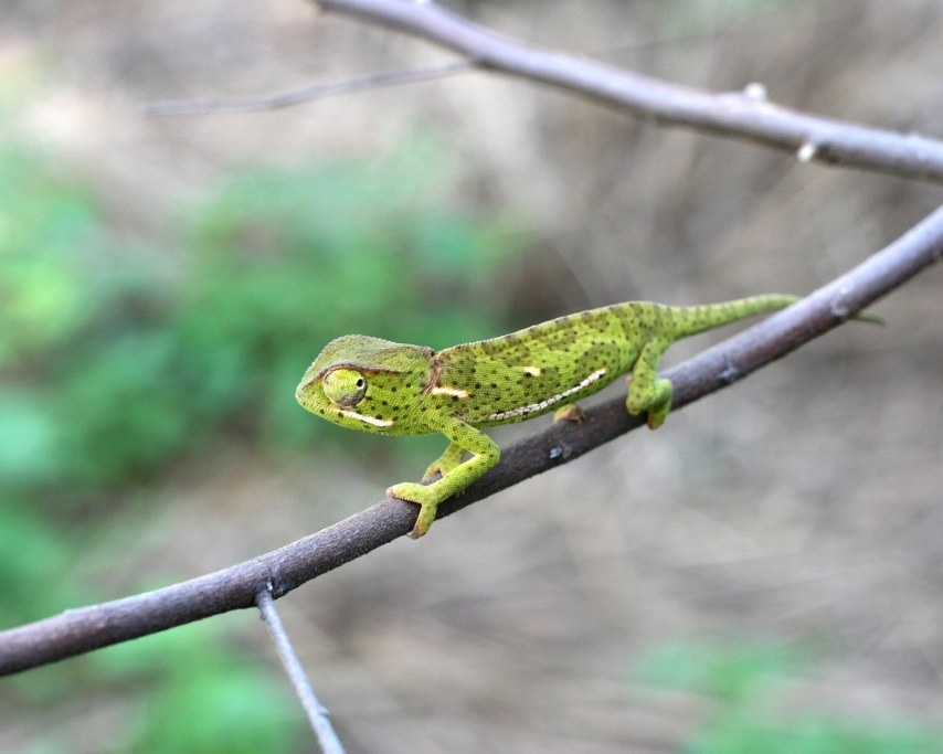 chameleon-1614212_1920.jpg