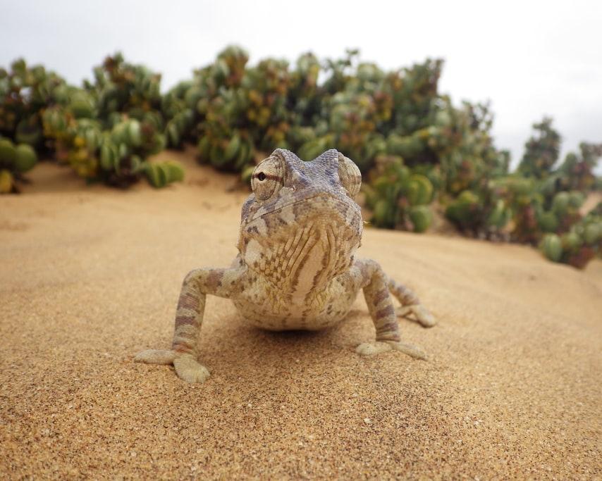 chameleon-2762796_1920.jpg