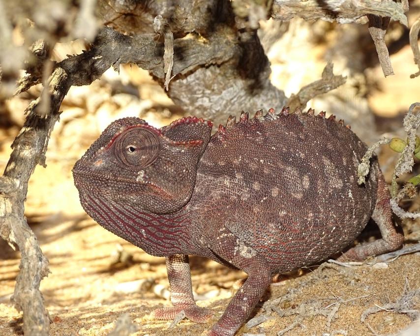 chameleon-4407257_1920.jpg