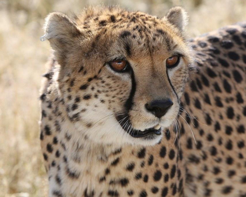 cheetah-2116775_1920.jpg