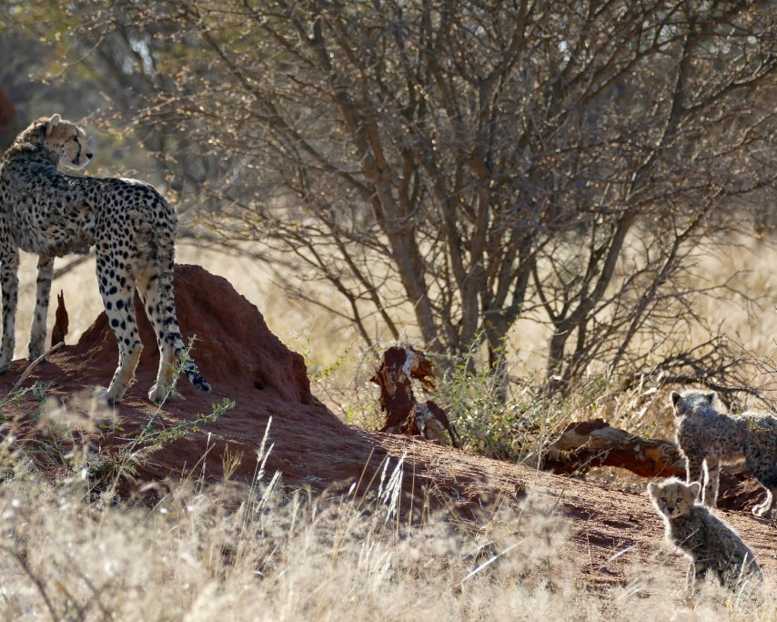 cheetah-3589472_1920.jpg