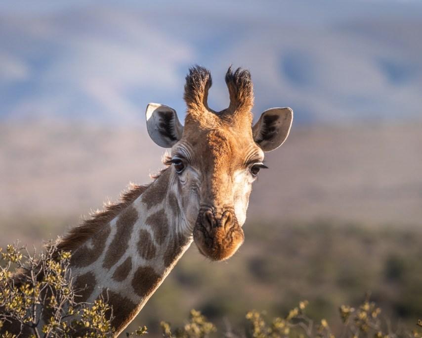 giraffe-4312090_1920.jpg