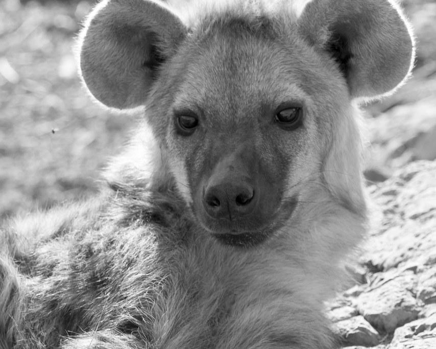 hyena-2903636_1920.jpg