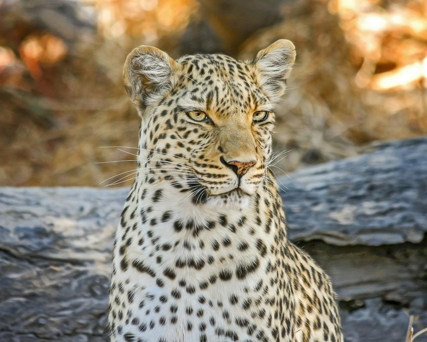 leopard-2923957_1920.jpg