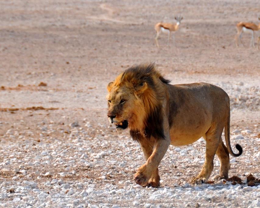 lion-1170216_1920.jpg
