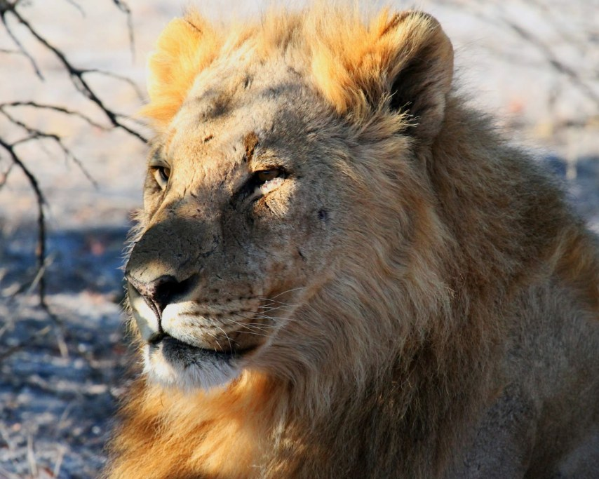 lion-1305806_1920.jpg