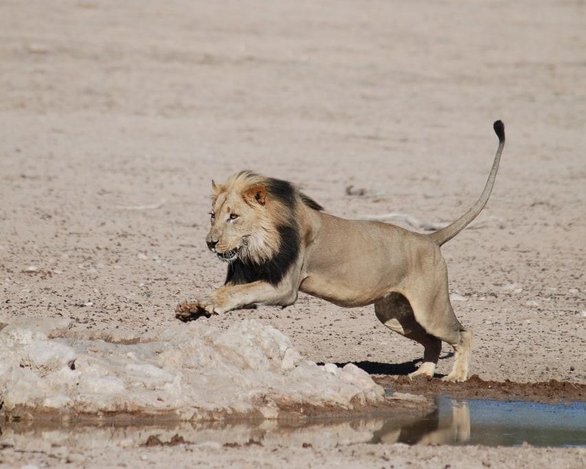 lion-2531899_1920.jpg