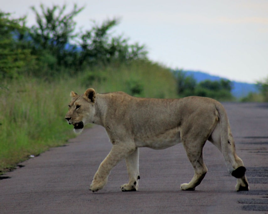 lion-4465210_1920.jpg