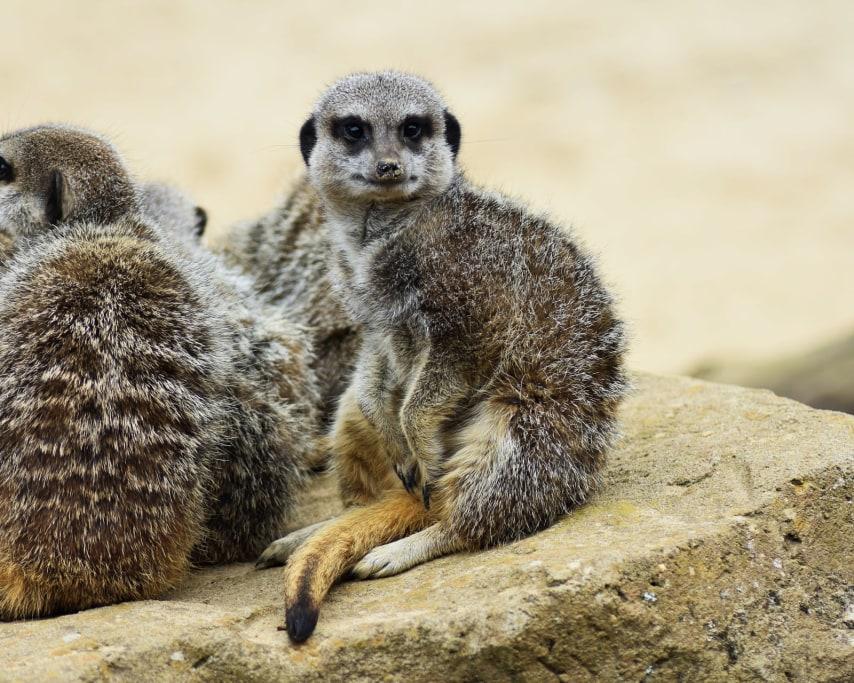 meerkat-3801141_1920.jpg