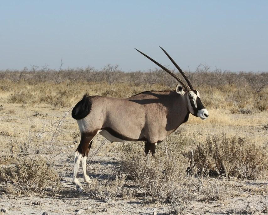 oryx-470196_1920.jpg