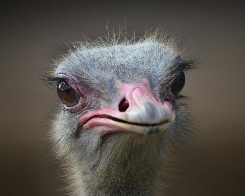 ostrich-1688889_1920.jpg
