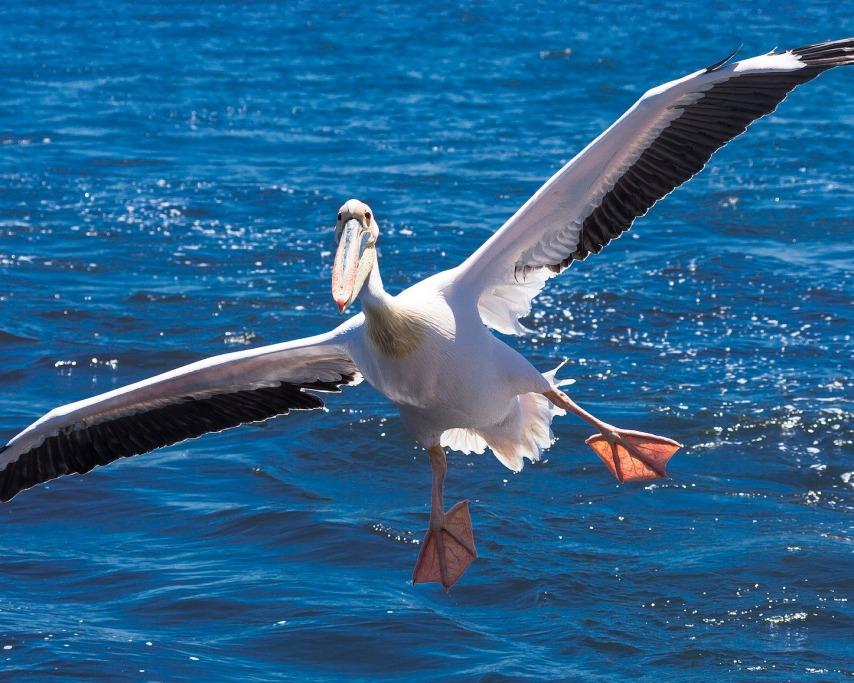 pelican-2859588_1920.jpg