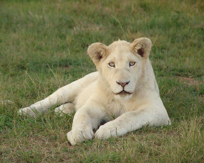white-lion-4295649_1920.jpg