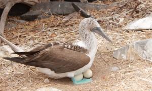 Blaufußtölpel Galapagos