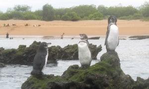 Pinguine-Bartolome