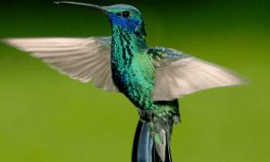Mindo-colibri