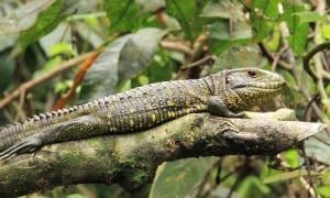 Napo-Wildlife-Center-Leguan.JPG