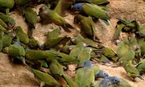 Napo-Wildlife-Center-Papageienlecke.jpg