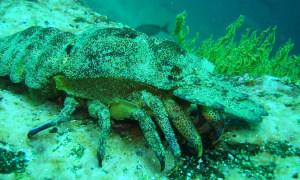 Unterwasser-Krebs-Galapagos.jpg