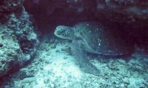 unterwasser-schildkröte-galapagos.jpg