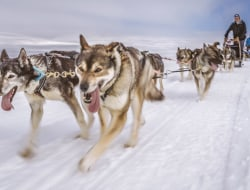 Mit Schlittenhunden in die Wildnis