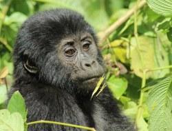 Das Highlight Ugandas: Gorilla-Tracking!