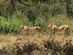 Serengeti National Park, Pirschfahrt