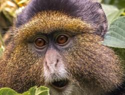 Virunga Mountains - Golden Monkeys Tracking