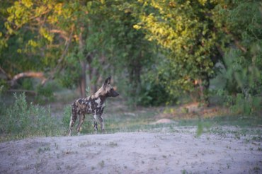 5 Tage mobile Zeltsafari in Botswana