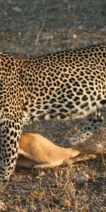 leopard-malawi