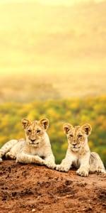 Löwenbabies in der Masai Mara