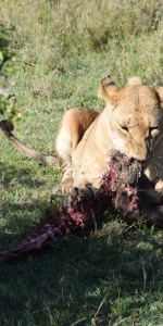 Löwin mit Beute Masai Mara