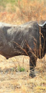 lonlely Buffalo auf Meine Welt Reisen