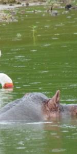 Kazinga Kanal und Pflusspferd