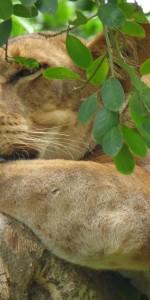 Baumkletternde Löwen Lake Manyara Nationalpark Meine Welt Reisen