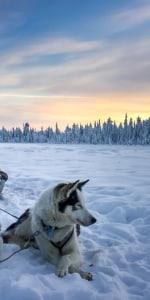 huskys-unter-nordlichtern