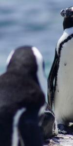 pinguine-klein-bouldersbeach-tag3.jpg