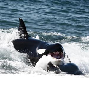 15 Tage Orca Safari im Süden Patagoniens