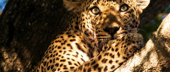 Leoparden Kenia Safari