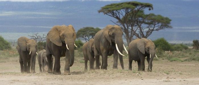 Elefanten am Amboseli