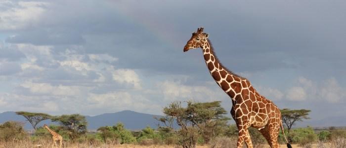 Fusspirsch mit Giraffen