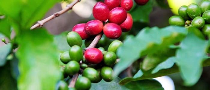 Coffee-karatu-meinewelt-reisen