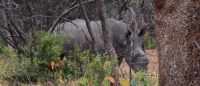Nashorn nicht Hwange